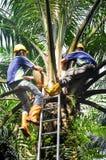 Steuern Sie Bestäubung für Ölpalmensamen Stockbild