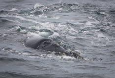 Steun van een Zuidelijke Juiste Walvis die dichtbij Hermanus, Westelijke Kaap zwemmen Beroemde wijngaard Kanonkop dichtbij schild stock afbeelding