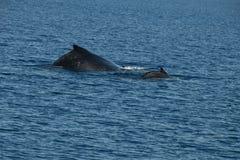 Steun van gebocheldewalvis en kalf royalty-vrije stock afbeelding
