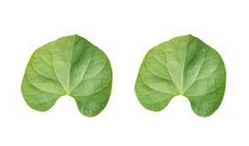 Steun van paar groen gebladerte tropisch op witte achtergronden royalty-vrije illustratie