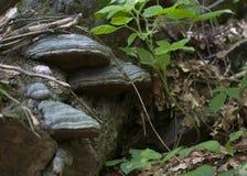 Steunpaddestoel op boom Stock Afbeeldingen