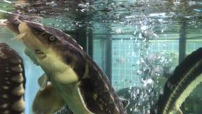 Steur in aquarium 002 stock videobeelden