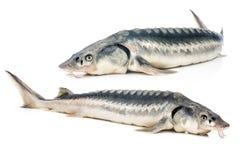 Steurvissen stock afbeelding