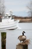 Steveston Goose, British Columbia Stock Photo