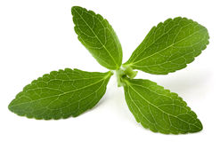 Stevia. Rebaudiana, sweet leaf sugar substitute isolated on white background royalty free stock images