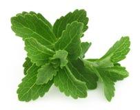 Stevia Imagem de Stock