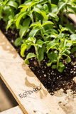 Stevia photos stock