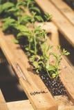 Stevia images libres de droits