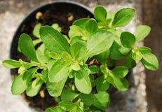 Stevia-Anlage Lizenzfreie Stockbilder