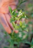 Stevia-blommor Fotografering för Bildbyråer