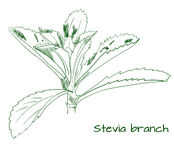 Stevia branch outline VECTOR sketch Stock Photo