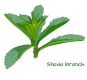 Stevia branch VECTOR sketch Royalty Free Stock Images
