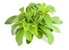 Stevia bunch Stock Photos