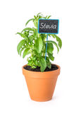 Stevia in a clay pot with a label Royalty Free Stock Photos