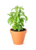 Stevia in a clay pot. On a white background Royalty Free Stock Photo