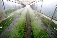 Stevia in greenhouse Stock Photos