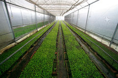 Stevia in greenhouse Stock Images