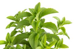 Stevia herb Royalty Free Stock Photos