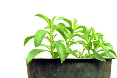 Stevia herb in container Royalty Free Stock Photography