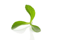 Stevia herb. Royalty Free Stock Images