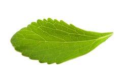 Stevia leaf stock images