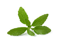 Stevia leaves. Isolated on a white background Royalty Free Stock Photography