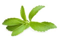 Stevia leaves Royalty Free Stock Image