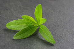 Stevia leaves on a slate plate Royalty Free Stock Image