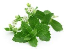 Stevia med blomman Royaltyfria Bilder