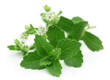 Stevia mit Blume lizenzfreie stockbilder