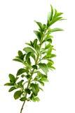 Stevia o hierba dulce Fotografía de archivo
