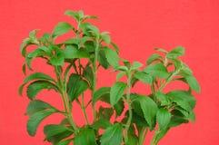 Stevia och en röd vägg som bakgrund Arkivfoton