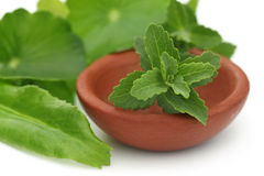 Stevia with other medicinal herbs Stock Images