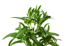Stevia plant. Isolated on a white background Royalty Free Stock Photo