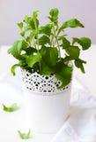Stevia plant Stock Image