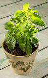 Stevia plant. Small stevia plant growing in a rustic clay pot Stock Photos