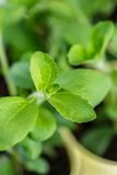 Stevia Plant (close-up shot; selective focus) Royalty Free Stock Image