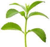 Stevia plant cutout Stock Image