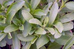 Stevia plant fills image frame Royalty Free Stock Photos