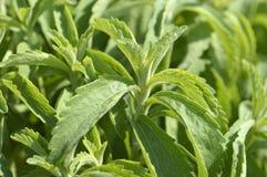 Stevia plant Royalty Free Stock Photos