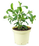 Stevia Plant isolated on white Stock Photography