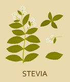 Stevia plant with leaves and pods. Vector illustration Stock Images