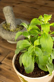 Stevia plant in pot. Potted stevia plant which is a healthy sugar substitute Stock Photo