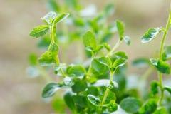 Stevia plant Royalty Free Stock Photo