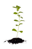 Stevia Plant (Stevia rebaudiana) Stock Photo