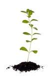 Stevia Plant (Stevia rebaudiana) Stock Photo