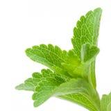 stevia rebaudiana изображения Стоковое Изображение