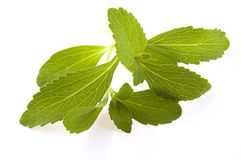 Stevia Rebaudiana Stock Images