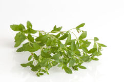 Stevia rebaudiana Bertoni trees. Royalty Free Stock Photos