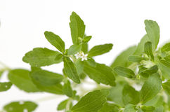 Stevia rebaudiana Bertoni trees. Stock Images